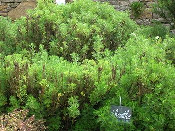 Artemisia absinthium :
