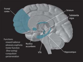 Dopamine Pathways. In the brain, dopamine play...