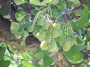 Species: Ginkgo biloba Family: Ginkgoaceae Ima...