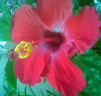 This is hibiscus rosa sinesis flower in malkap...