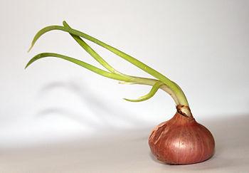 English: A growing onion Allium cepa in a neut...