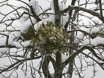 English: European Mistletoe (Viscum album) in ...