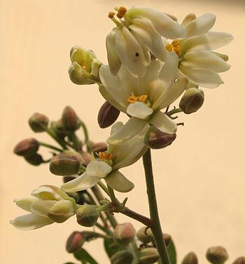 English: Sonjna Moringa oleifera in Kolkata, W...