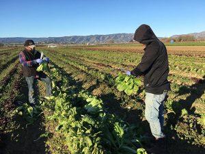 Terra Firma farmworkers kale